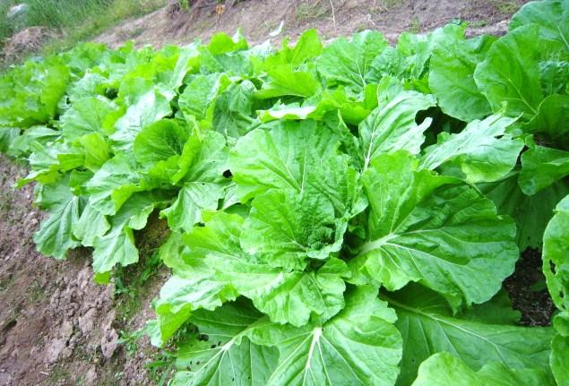 肥り盛り・白菜