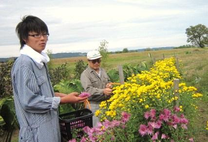 食用菊摘み取り