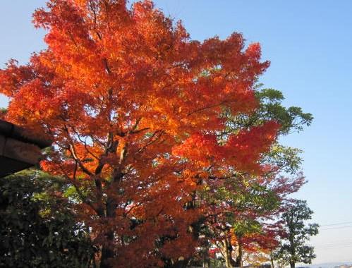 八尾一番の紅葉