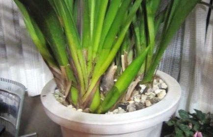 シンピの花茎