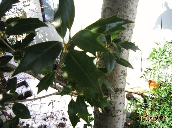 ヒイラギの葉