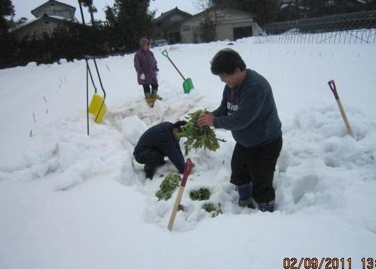 雪の中から掘り出した大根