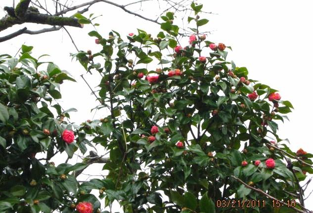 椿花ほころぶ