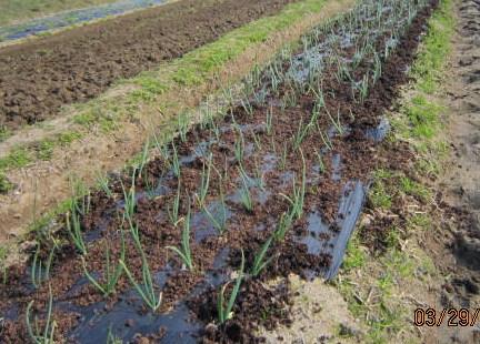 有機の追肥(玉葱)