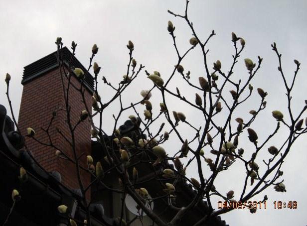 木蓮の蕾膨らむ