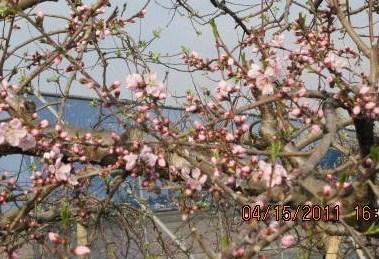 桃咲き始め