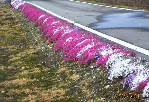 法面の芝桜
