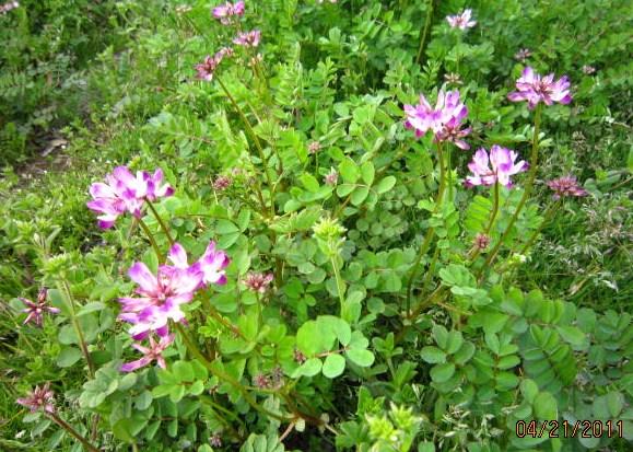 れんげ草の花
