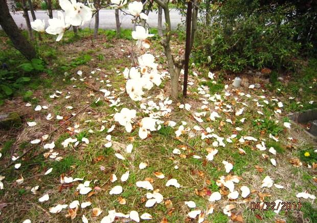 ハクモクレンの落花