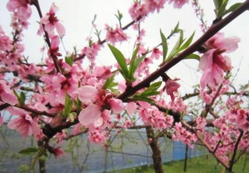 鄙びた花弁と新葉