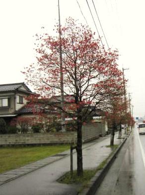 ハナミズキの並木