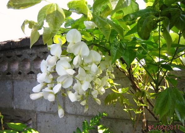白ふじの花