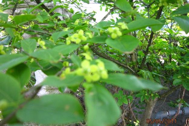 にしき木の花