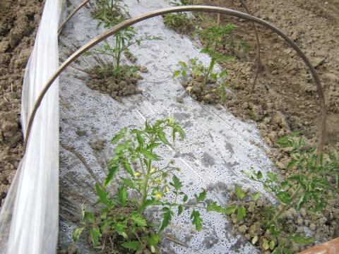 トマトの花房処理