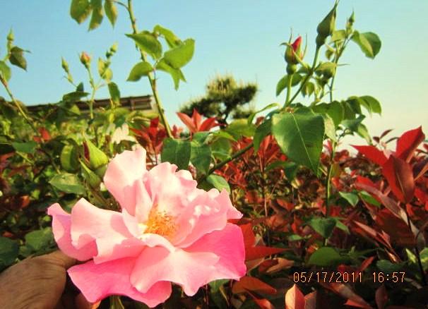 レッドロビーとつるバラ