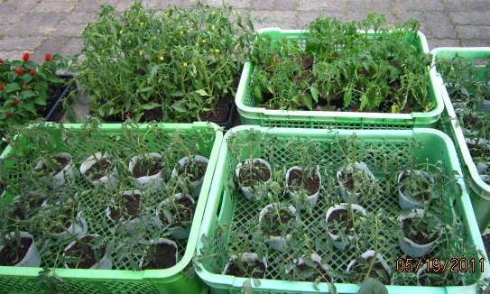 トマト3品種