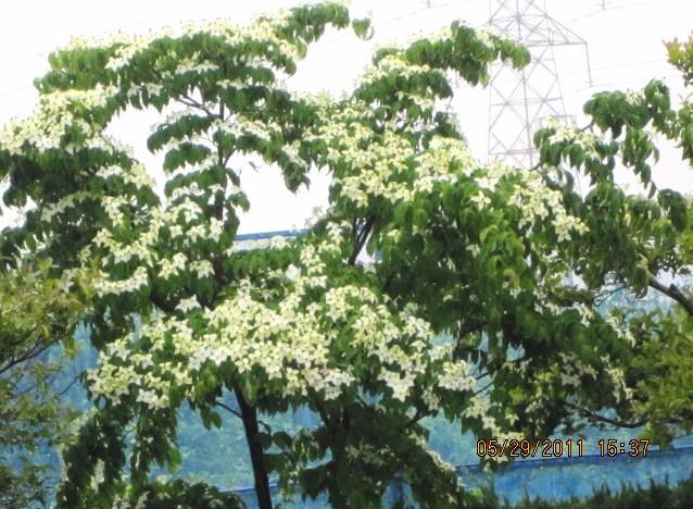梅雨の走り・ヤマボウシの花