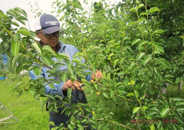 西洋梨の摘果