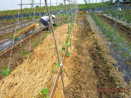 黄瓜の定植