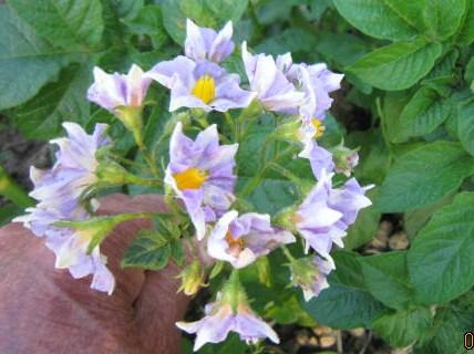 メイクイーンの花