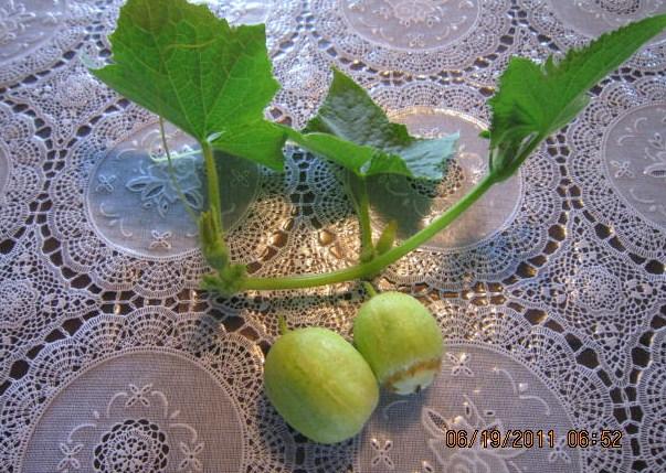 イタリア胡瓜