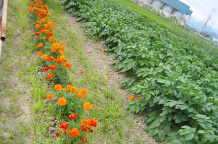 畑の中のお花