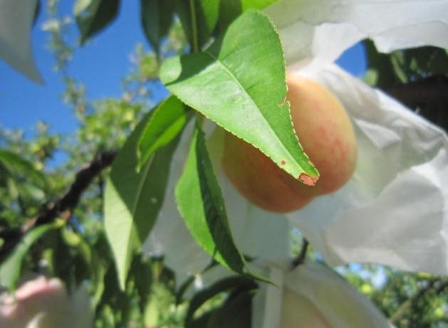 桃の収穫間近