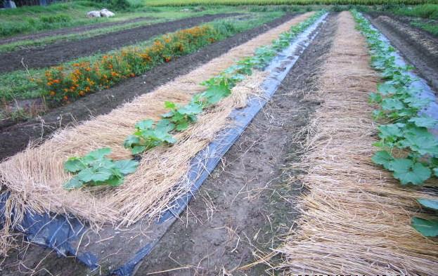 かぼちゃの敷き藁