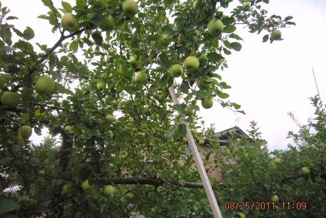 りんごの支柱