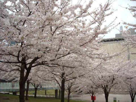 白山神社花見\白山神社・H22・4 桜1