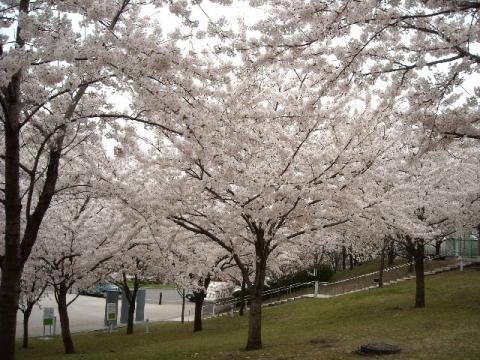 白山神社花見\白山神社・H22・4 桜2
