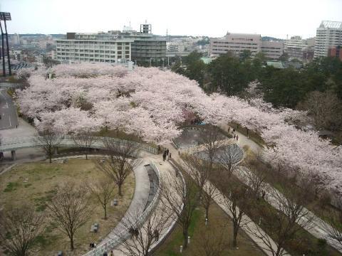 白山神社花見\白山神社・H22・4 桜3