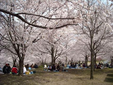 白山神社花見\白山神社・H22・4 桜4