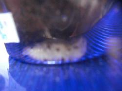 パプ赤蛹 (2)