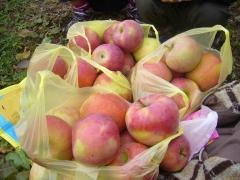 りんご狩りのりんご