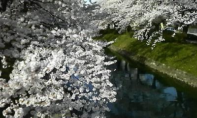 松川の桜20100409