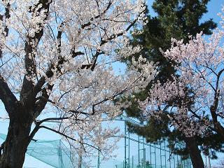 20100404桜