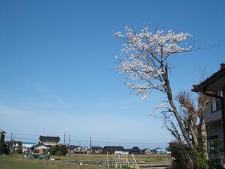 我が家の桜20100410