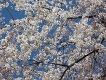 大福Cafe-20110406桜
