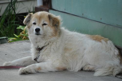 2月28日白い横たわる犬500