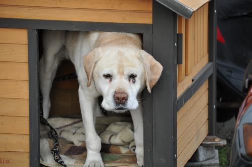2月28日白い大きな犬500