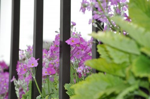 3月1日垣根から紫の花500