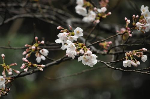 3月23日百楽荘の桜