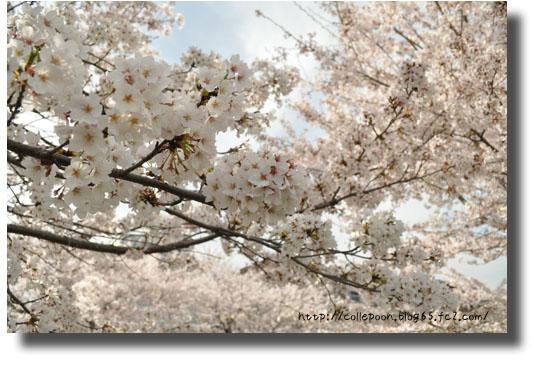 3月6日桜3