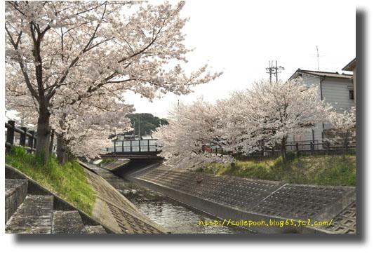 3月6日桜4