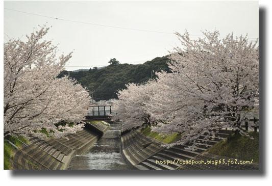 3月6日桜2
