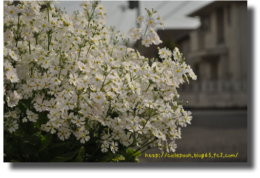 3月6日桜の日白い花