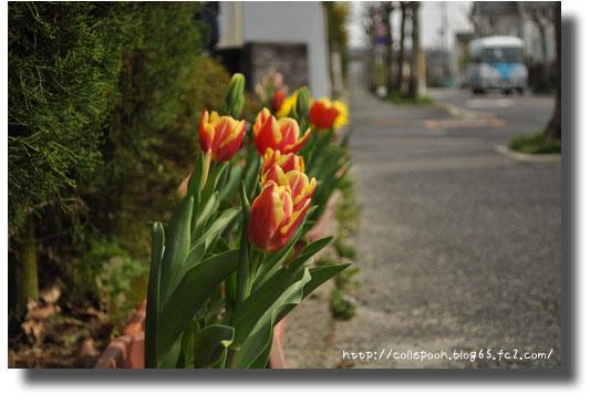 3月6日桜の日チューリップ