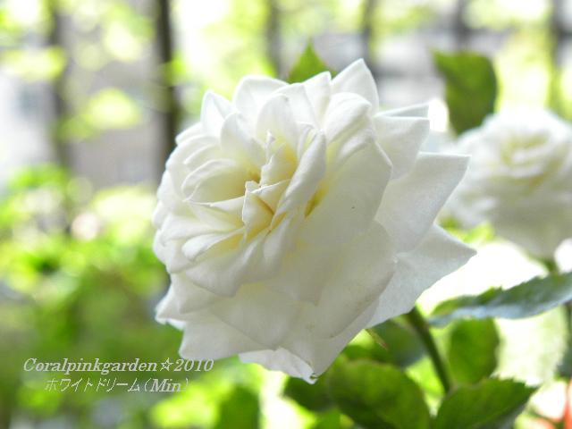ホワイトドリーム5