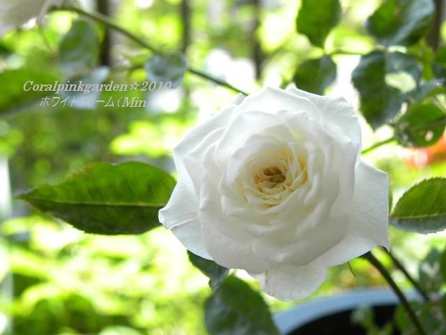 ホワイトドリーム4